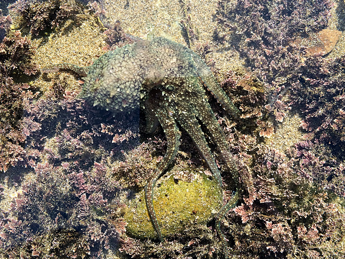 Abalone Cove tidepools octopus