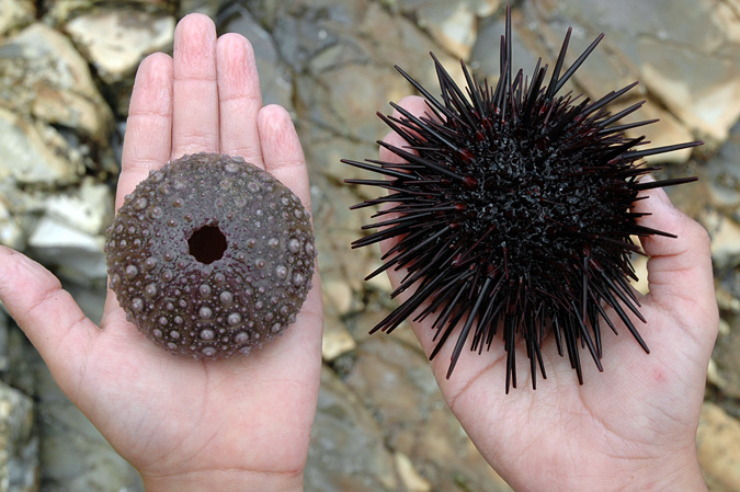 Abalone Cove urchins, before and after being eaten by a sea star