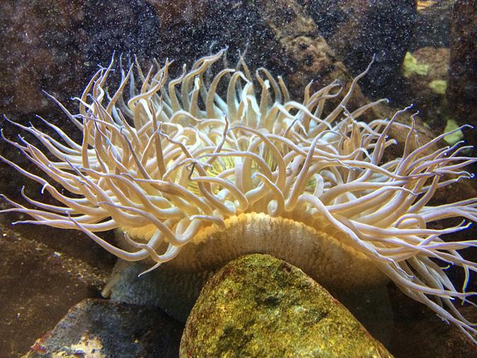 Cabrillo Aquarium anemone