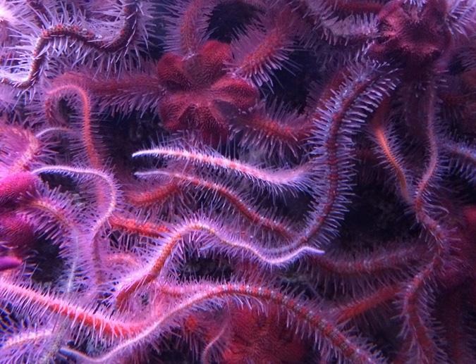 Cabrillo Aquarium brittlestars