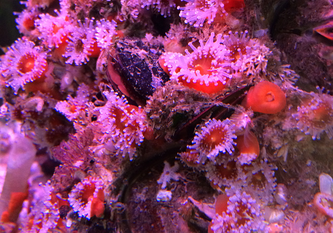 Cabrillo Aquarium corals