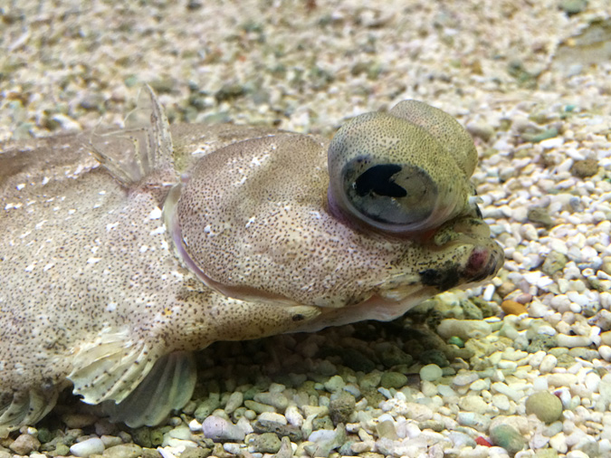 Cabrillo Aquarium flounder