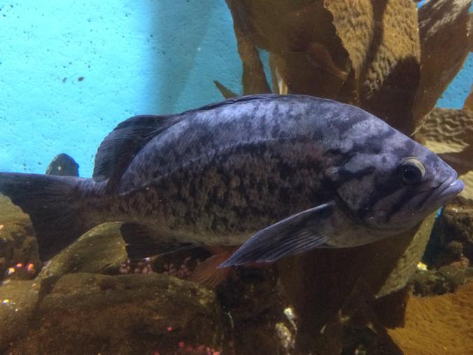 Cabrillo Aquarium sea bass