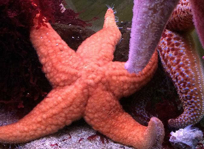 Cabrillo Aquarium sea stars