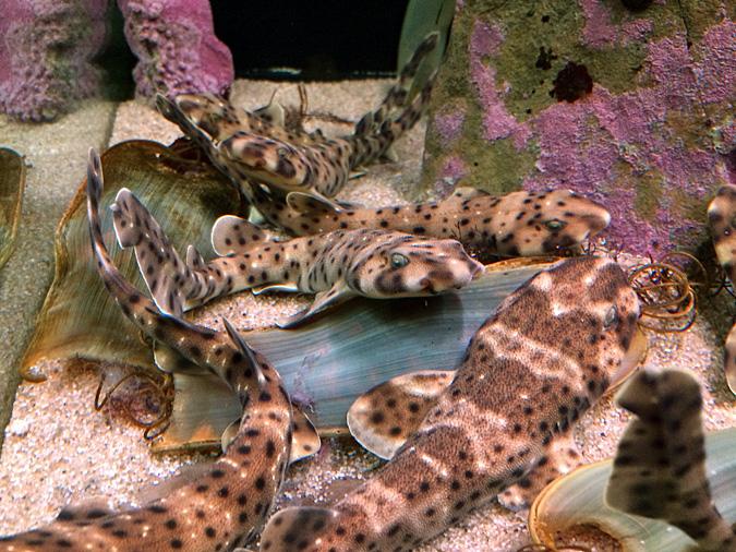 Cabrillo Aquarium baby leopard sharks