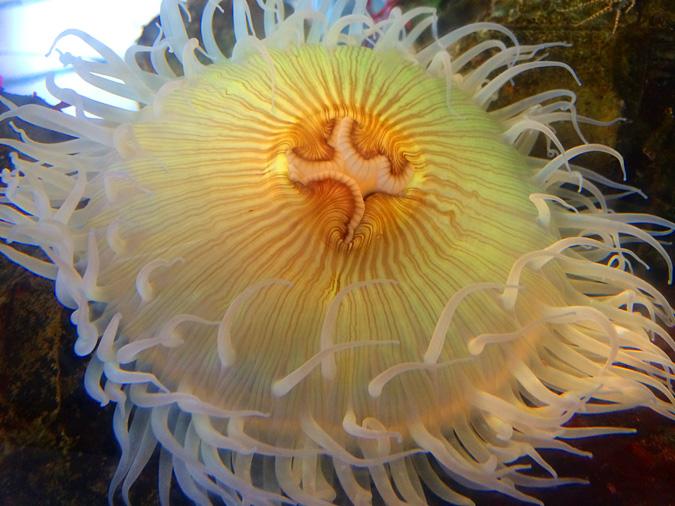 Ocean Institute anemone