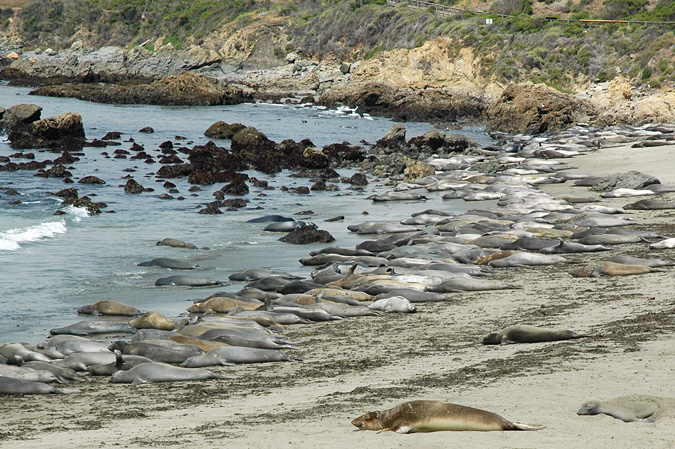 Make a quick stop just north of Cambria to see the sea lion beach