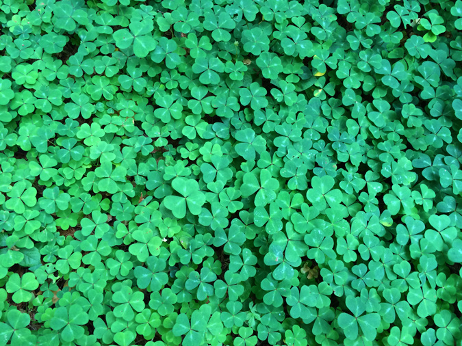 The clover fields of Limekiln State Park, Big Sur